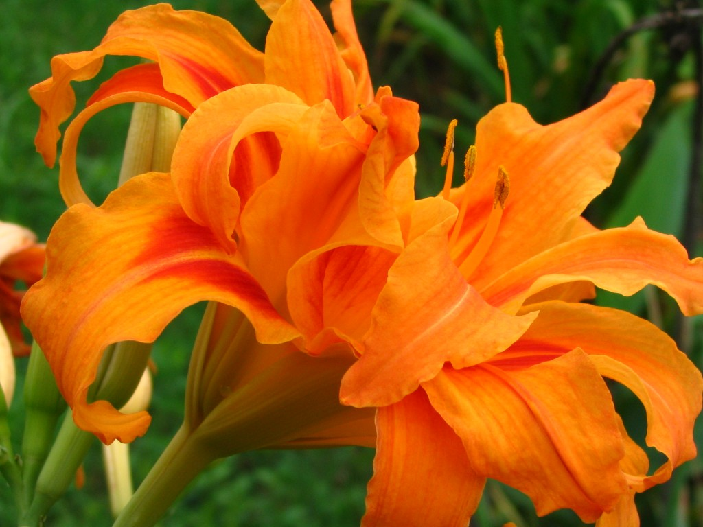 Orange_Daylily